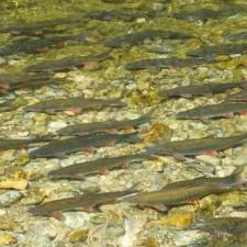 Od marta do maja riba bježi iz svog kraja